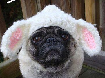 Bunny Pug