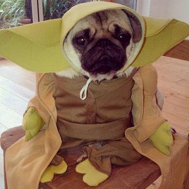 Pug Yoda